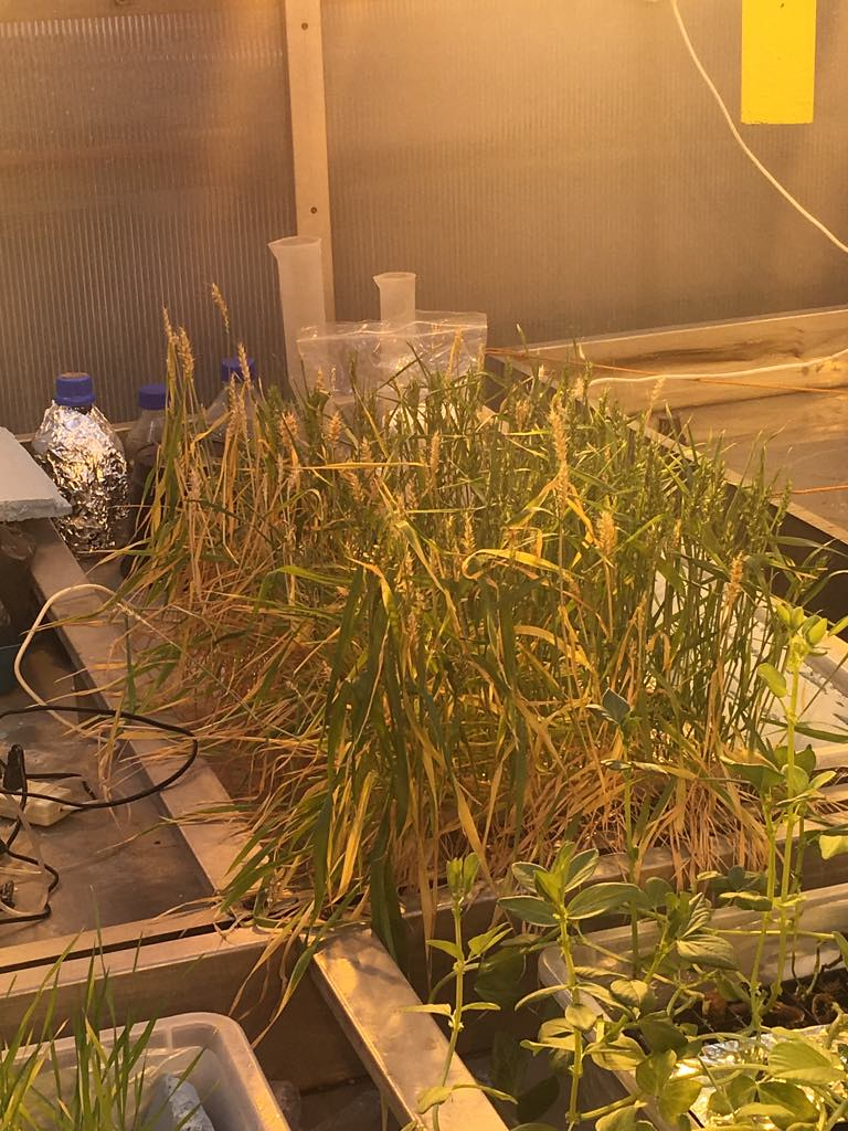 Wheat growing using the hydroponics system inside the gree