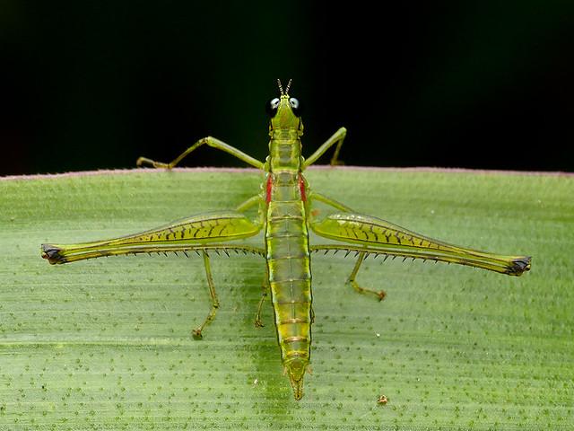 Beomastax equatoriana, Eumastacidae