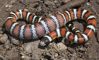 Utah Milksnake (Lampropeltis triangulum taylori) | by Hunter Meakin