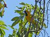 Turpial Coliamarillo, Yellow-tailed Oriole (Icterus mesomelas) by Francisco Piedrahita