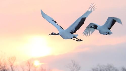 bird hokkaido crane redcrownedcrane tancho grusjaponensis tsurui otowabridge sunrise birdinflight desktop wallpaper background