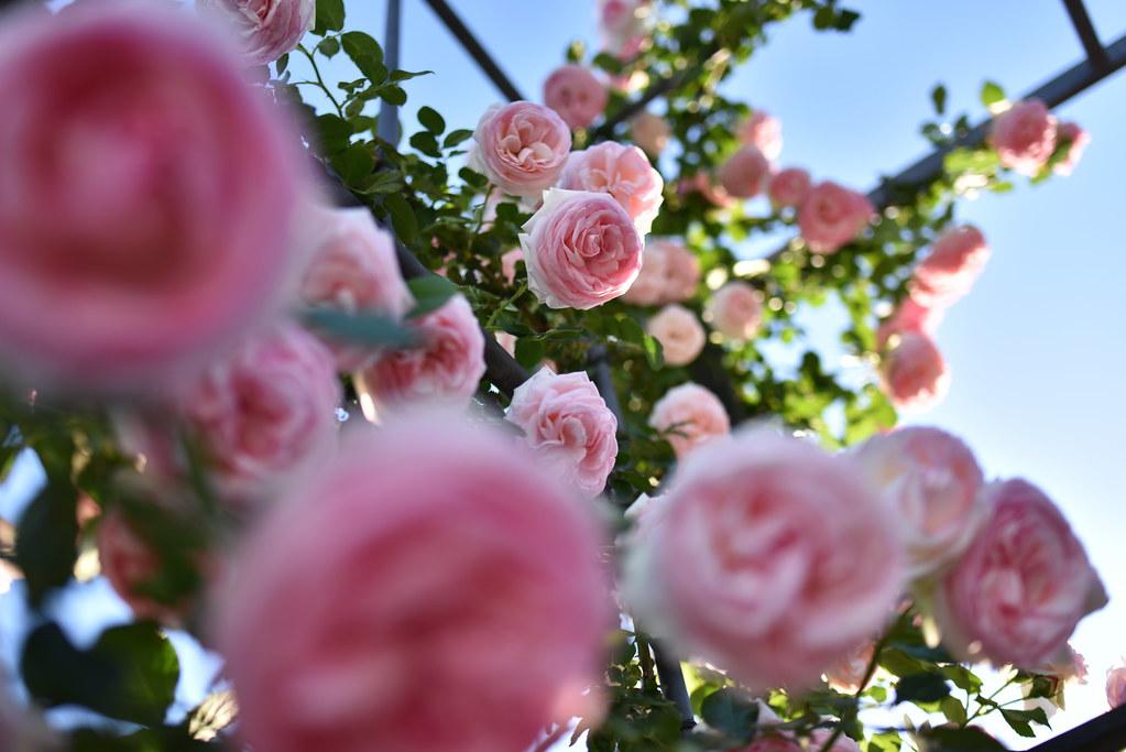 Rose Pierre De Ronsard Raised In France Naruo0720 Flickr