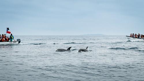 Delfine vor der Isla Damas | by simon.monai