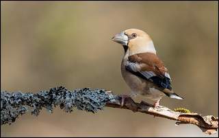 Grosbec casse-noyaux / Hawfinch | by denismichaluszko