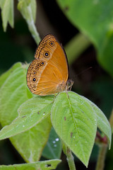 Mycalesis phidon phidonides (Hewitson's Bush Brown) male