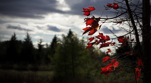red leaves color saturated sigma 85mm art clouds dark canon 5ds side nature blowing breeze sunset ontario richmond hill canada autumn fall tatered bokeh background focus tree trees cloudy day daytime