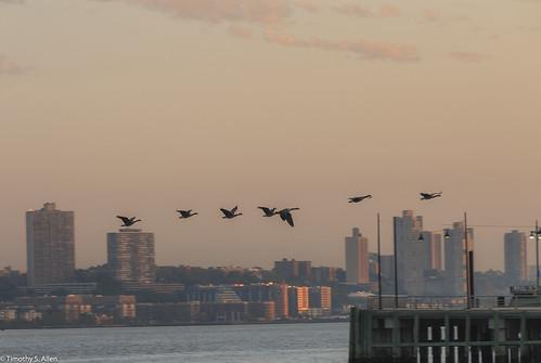 hudsonriverwalk newyork adobe birds geese shutter water fly sunrise manhattan newjersey skyline newyorkcity golden hour dock river sky pink clouds earlymorning