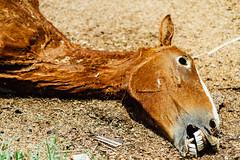 Horse Roadkill Face