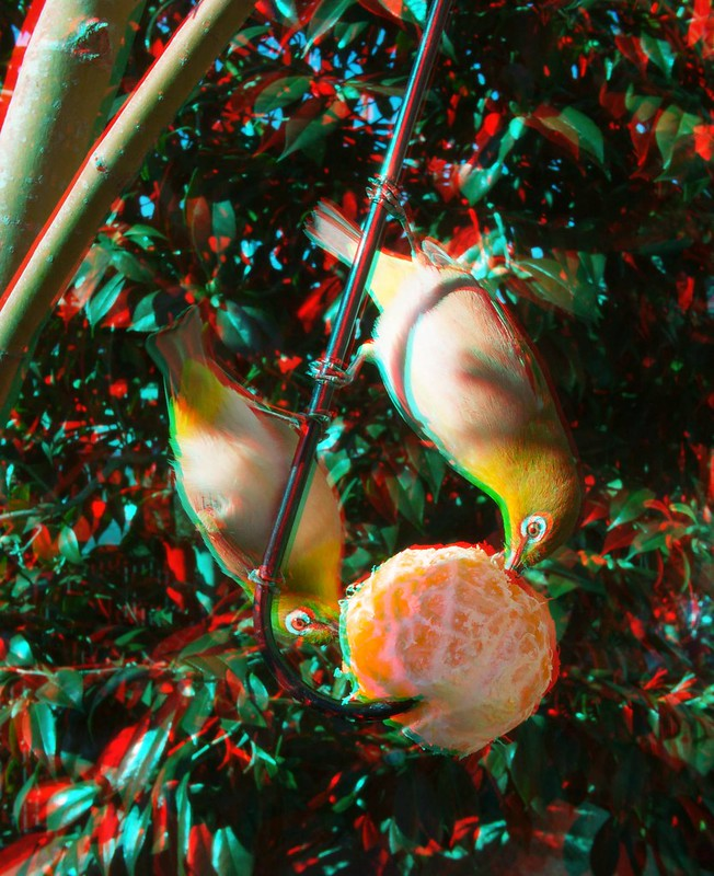 Zosterops japonicus, anaglyph