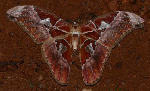 Saturniid Moth (Rothschildia aurota)