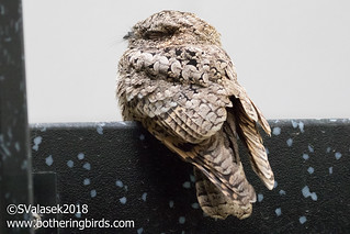 Common Poorwill | by Bothering Birds