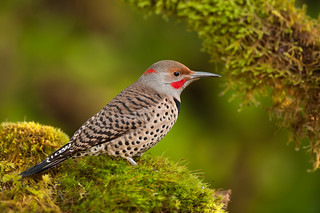 Northern Red-shafted Flicker | by Martin Dollenkamp