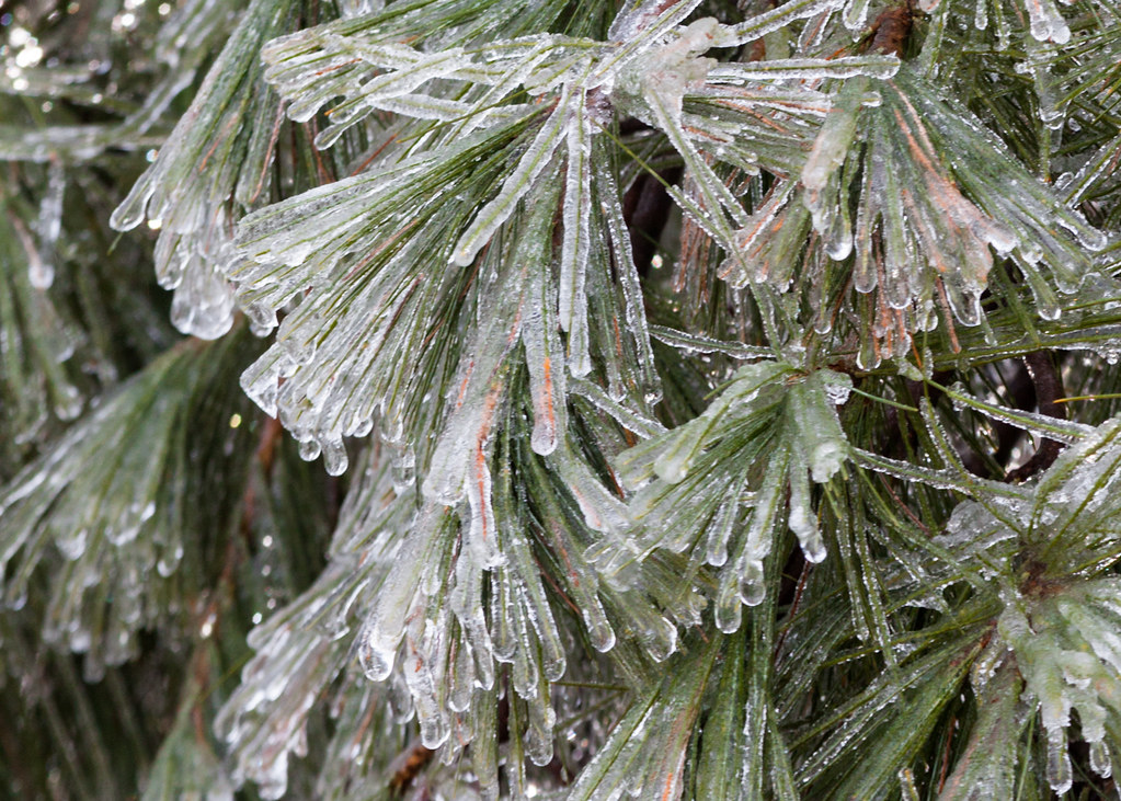 Pine Needles | A couple of days ago we had freezing rain  Th