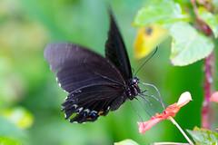 Papilio aegeus ormenus (Orchard Swallowtail) - male
