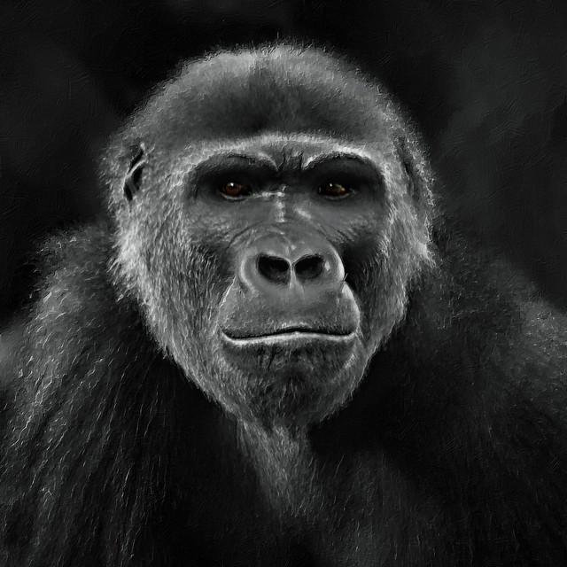 I Am Gorilla