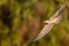 Black-crowned night heron (Nycticorax nycticorax) in flight at Venice Rookery, Venice, Florida by diana_robinson