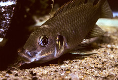 Benitochromis aff. nigrodorsalis, male picking up fry