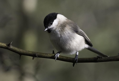 marsh tit | by sueandgraeme