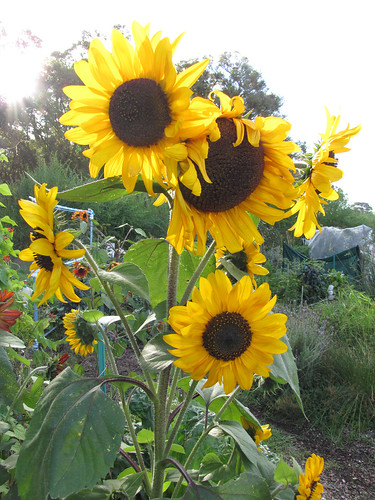 Citrus Surprise Sunflowers I – Red Moon Sanctuary, Redmond, Western Australia | by Red Moon Sanctuary