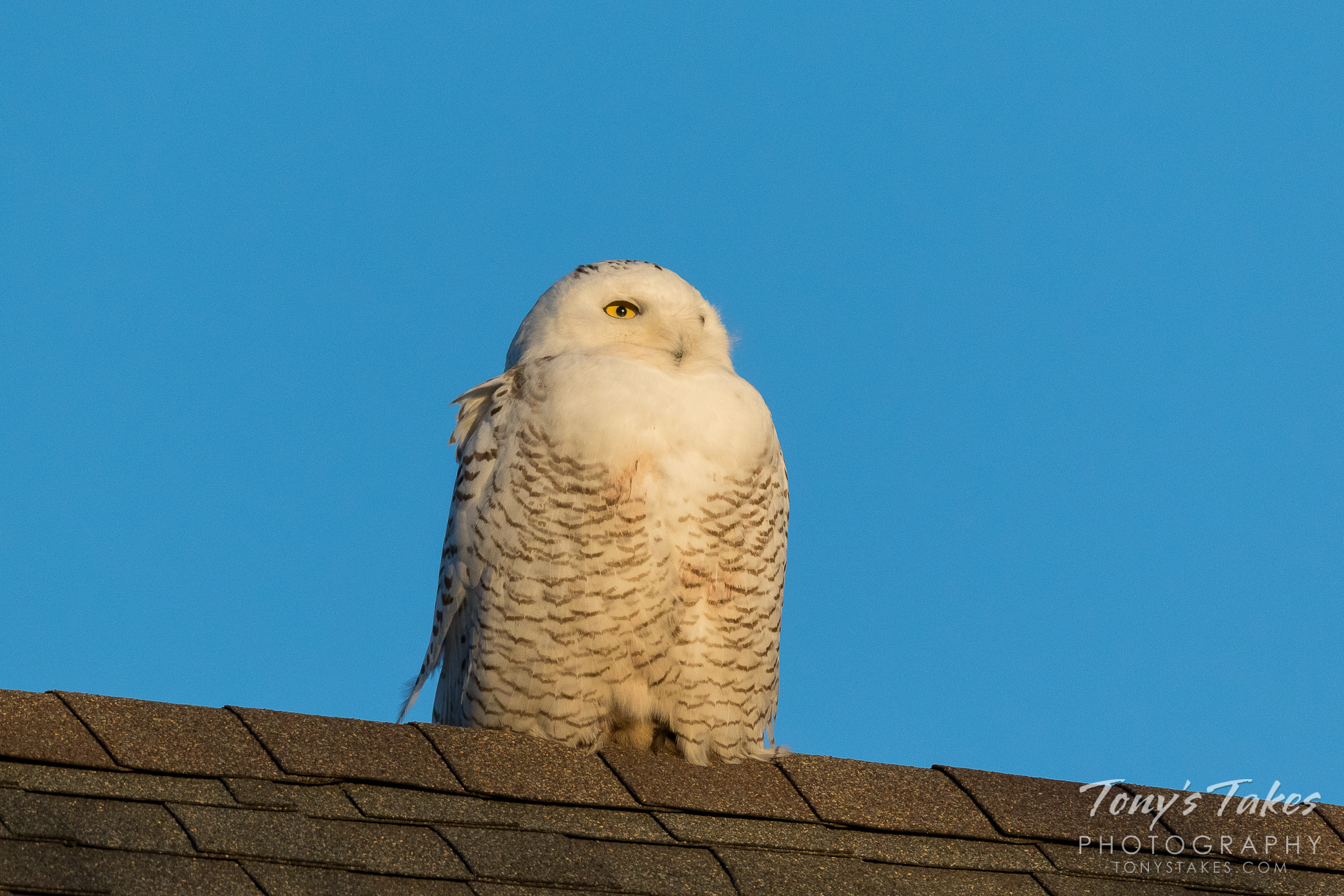 Snowy Owl chilling out in suburbia