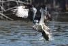 An osprey's struggle with a big fish (1): catching and lifting by takashi muramatsu