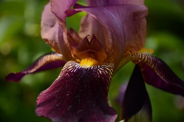 Floraisons 2016 de nos grands iris barbus et Bilan 32528559716_60dab23efe_z