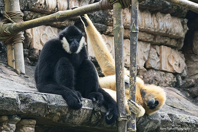 A Pair of White-cheeked Gibbons