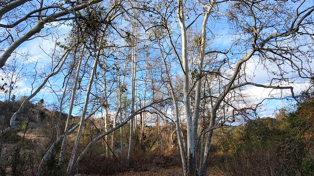 180214 18 Fallbrook, CA - Walk around Ross Lake, Lynda Lane, Platanus racemosa Western Sycamore