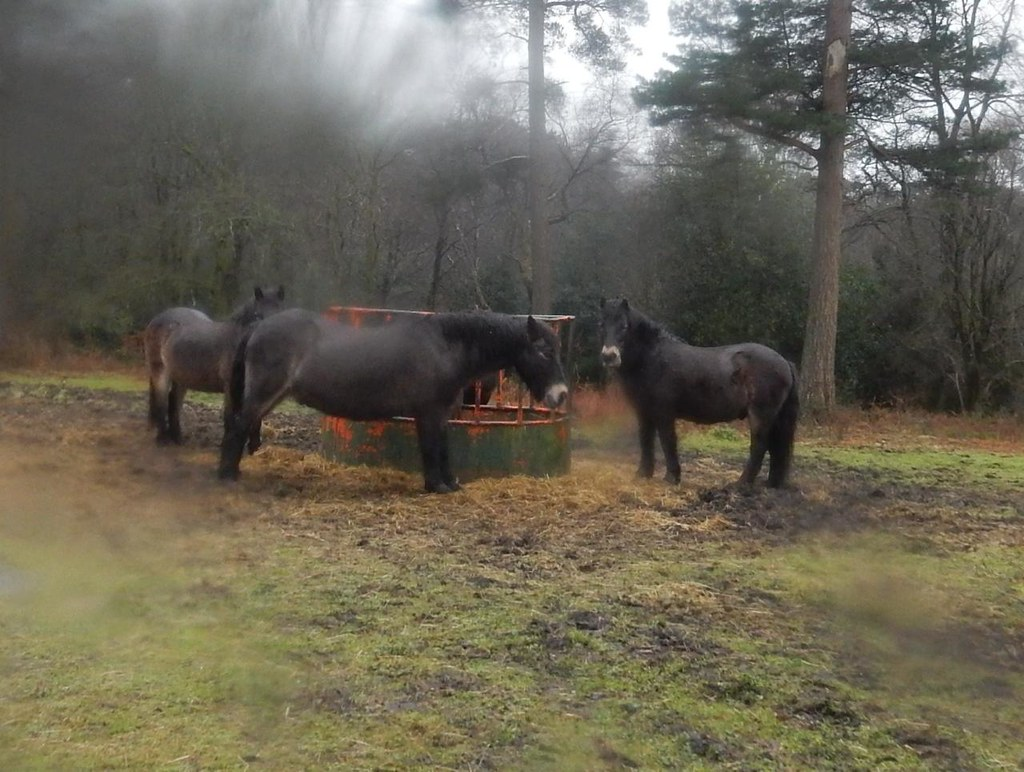 Exmoor ponies Milford to Haslemere A bit wet