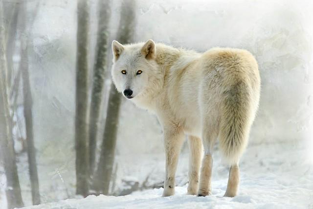 Canis lupus arctos . . .