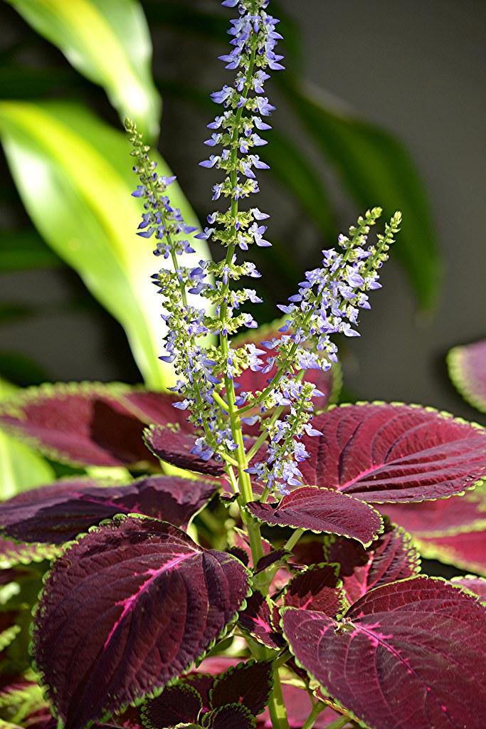 """Résultat de recherche d'images pour """"plante coléus avec fleur"""""""