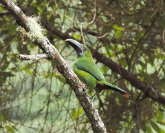 Southern Emerald-Toucanet (Aulacorhynchus albivitta)