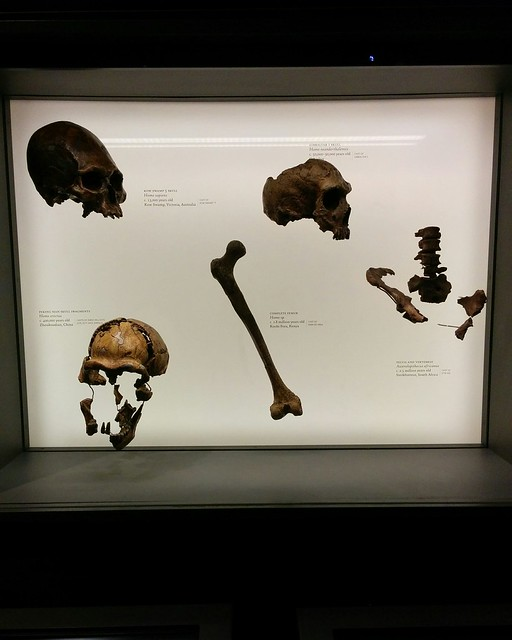 Remains #newyork #newyorkcity #manhattan #amnh #skeleton #bone #human #hominid #primate #homosapiens #homoerectus #homoneanderthalensis #neanderthal #australopithecus #australopithecusafricanus