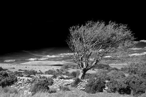blackandwhite dartmoor gidleigh stonewall mono black gorse bushes tree heather moorland outdoor outdoors hiking path way nationalpark devon uk canon eos50d tamron 1750mm clouds sunny bright white