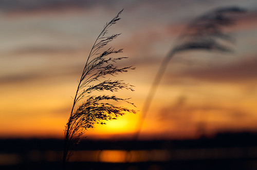 Reed | by Nilsfried