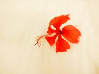 Hibiscus!!!