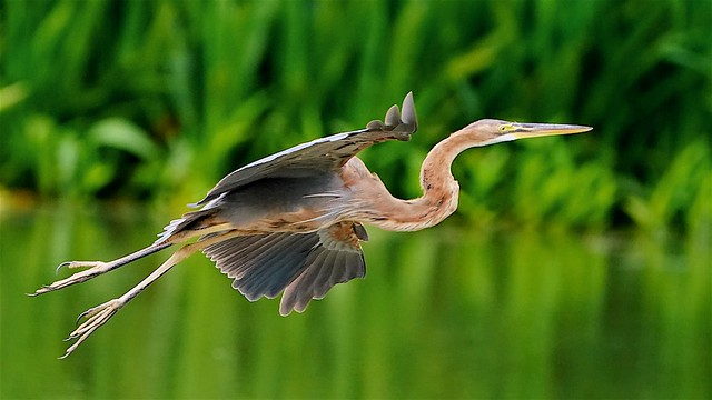 Purple Heron Inflight