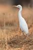 Cattle Egret, Bubulcus ibis by Kevin B Agar