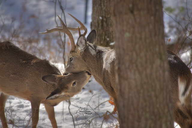 *Whitetail Affection*
