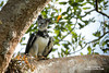 Harpy Eagle by www.NeotropicPhotoTours.com