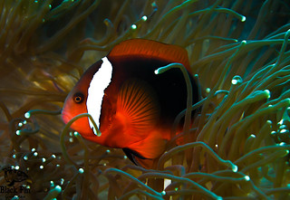Tomato Clown Fish on  Bubble-tip anemone Entacmaea quadricolor (Bubble tip anemone).jpg A colony of Entacmaea quadricolor. Young individuals may have about 20 tentacles, with numbers increasing during their lifetime.[1] Scientific classification e Kingdom