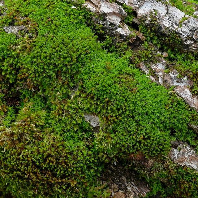 Homalothecium sp. growing on oak bark