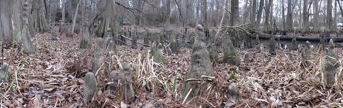 canons110 panorama autostitch houston baldcypressswamp mercerbotanicalgardens cypressknees