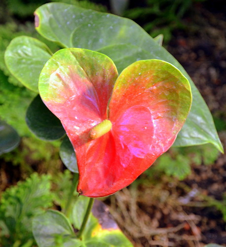 Anthurium-Hybride | by catlovers