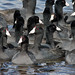 Flickr photo 'American Coots (Fulica americana)' by: Mary Keim.