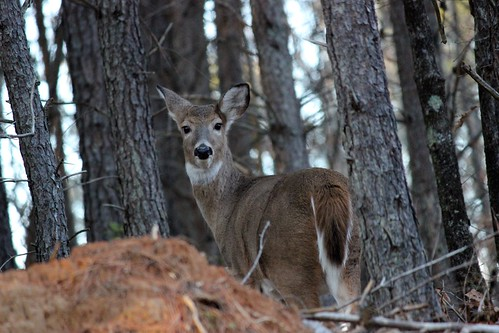 Photo of doe in the woods