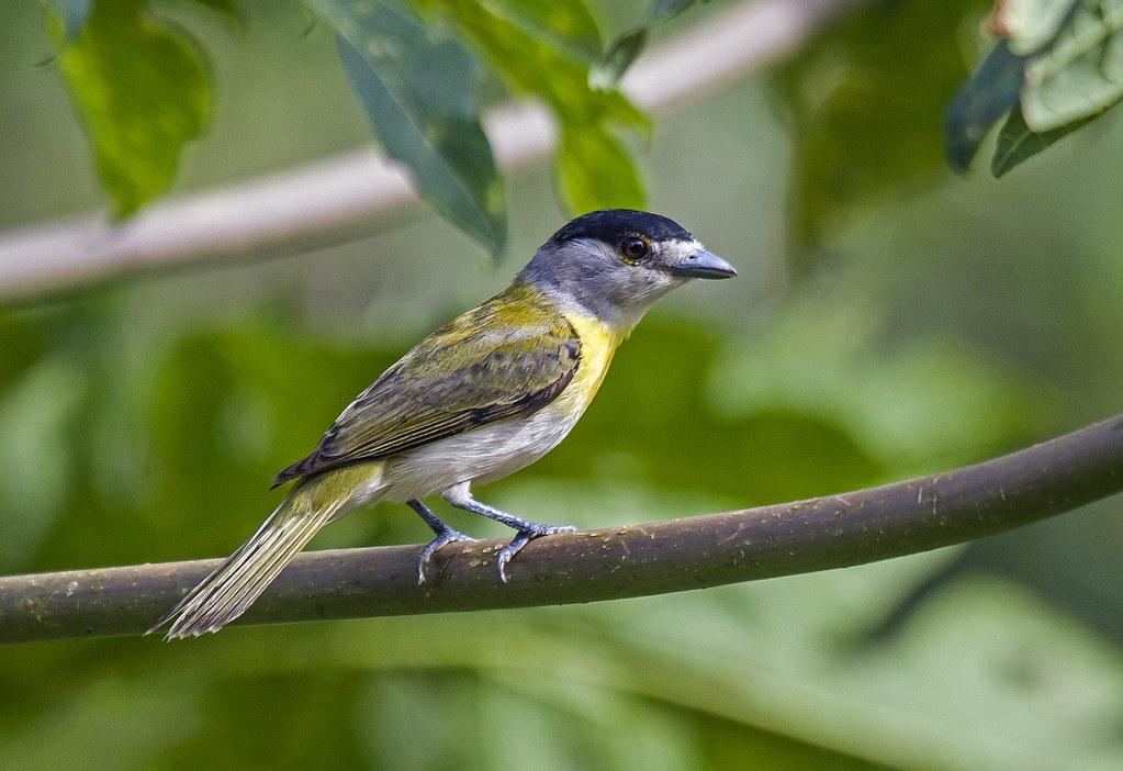 caneleiro-verde (Pachyramphus viridis) Green-backed Becard