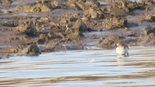 leastsandpiper norbertspond kevinlucas norbertmarquez killdeer windy video roadnoise digiscoped shaky shorebird pond