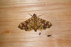 Crambidae: Glyphodes caesalis