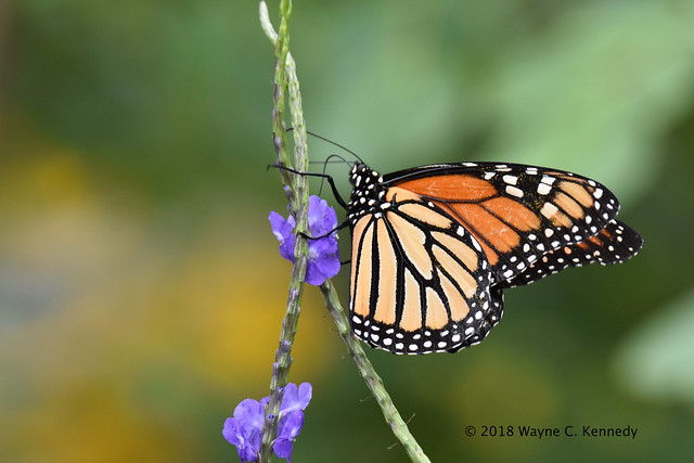 Female Monarch Butterfly at Leu Gardens